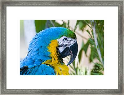 Blue And Yellow Macaw Framed Print by William H. Mullins