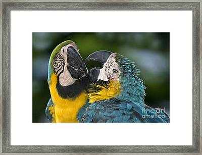Blue And Yellow Macaws Framed Print by Anthony Mercieca