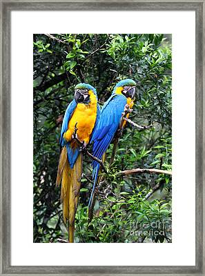 Blue And Yellow Macaws Framed Print by James Brunker