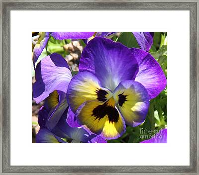 Blue And Yellow Pansies Framed Print by Cathy Lindsey