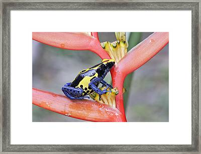 Blue And Yellow Poison Dart Frog Framed Print by M. Watson