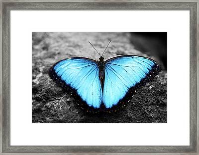 Blue Angel Butterfly 2 Framed Print