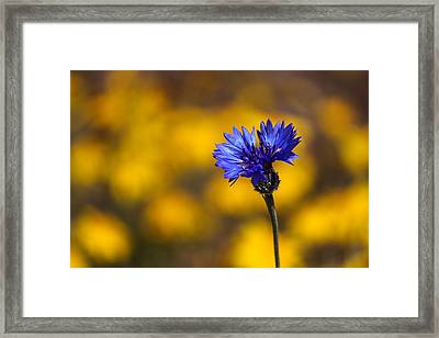 Blue Bachelor Button On Gold Framed Print by James Eddy