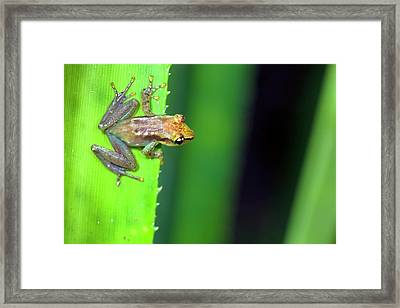 Blue Back Reed Frog Framed Print by Alex Hyde