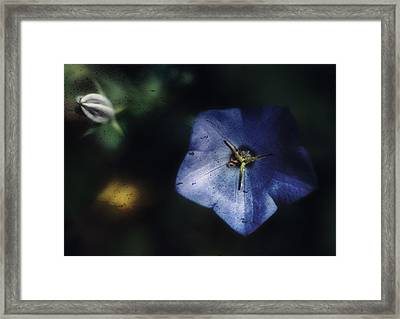 Blue Balloon Flower In The Shadows Framed Print by Louise Kumpf