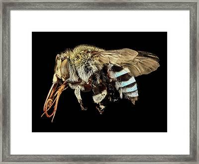 Blue Banded Bee Framed Print