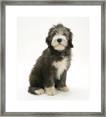Blue Bearded Collie Pup Framed Print