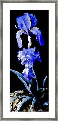 Blue Bearded Rhizomatous Irises Framed Print