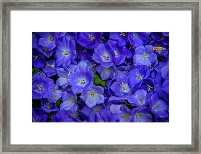 Blue Bells Carpet. Amsterdam Floral Market Framed Print by Jenny Rainbow