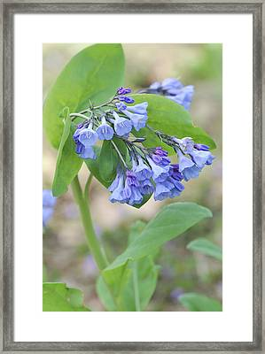 Framed Print featuring the photograph Blue Bells Of Lapsley's Run by Phyllis Peterson