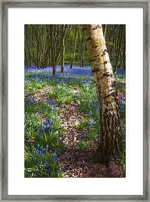 Blue Bells Path Framed Print by Svetlana Sewell
