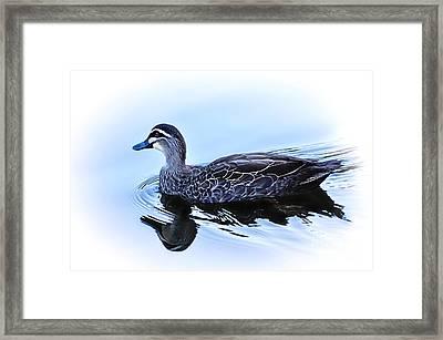 Blue Billed Duck Framed Print