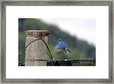 Framed Print featuring the photograph Blue Bird by Ann E Robson