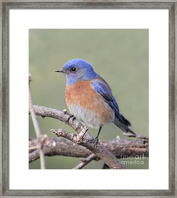 Blue Bird At Sedona Framed Print