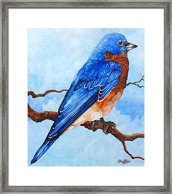 Blue Bird Framed Print by Curtiss Shaffer