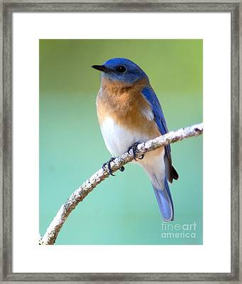 Blue Bird Portrait Framed Print