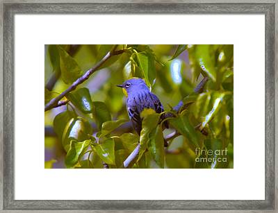 Blue Bird With A Yellow Throat Framed Print by Jeff Swan