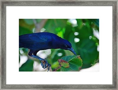 Blue-black Black Bird Framed Print