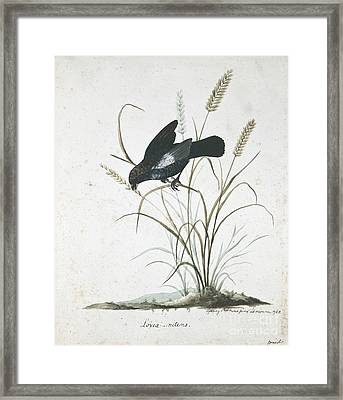 Blue-black Grassquit, 18th Century Framed Print by Natural History Museum, London