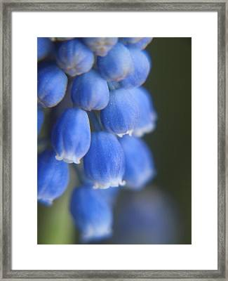 Blue Blossoms Framed Print