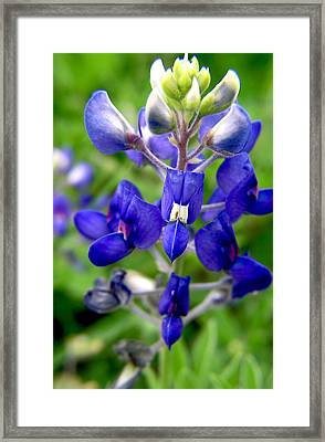 Blue Bonnet Framed Print by Adam Johnson