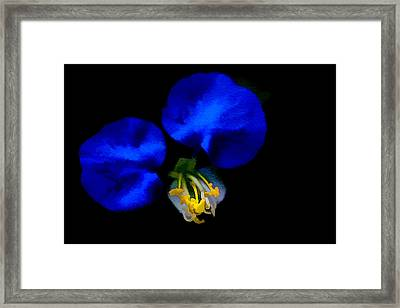 Blue Bonnet Framed Print