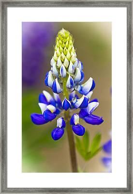 Blue Bonnets Lupinus Framed Print by Maj Seda
