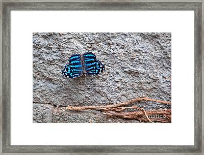 Blue Butterfly Myscelia Ethusa Art Prints Framed Print by Valerie Garner