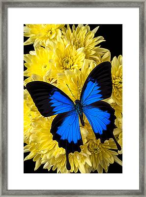 Blue Butterfly On Poms Framed Print by Garry Gay
