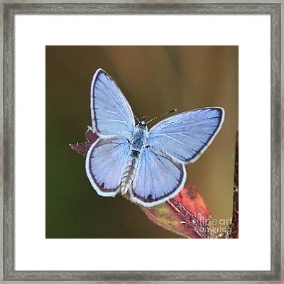 Blue Butterfly Square Framed Print by Carol Groenen