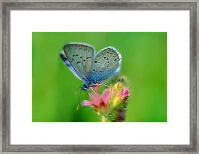 Blue Butterfly Framed Print by Wernher Krutein