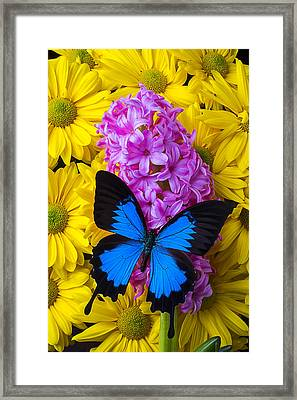 Blue Butterfly With Hyacinth Framed Print by Garry Gay