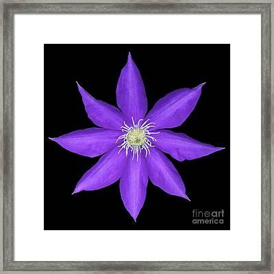 Blue Clematis Framed Print