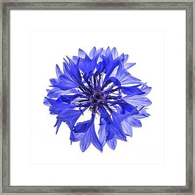 Blue Cornflower Flower Framed Print by Elena Elisseeva
