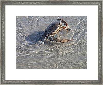 Blue Crab Chillin Framed Print by Robert Nickologianis