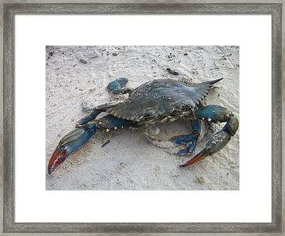 Blue Crab Framed Print by Paula Rountree Bischoff