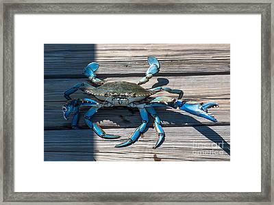 Blue Crab Pincher Framed Print