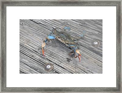 Blue Crab Framed Print