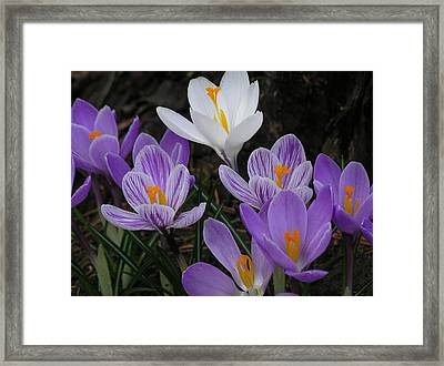 Blue Crocus Framed Print