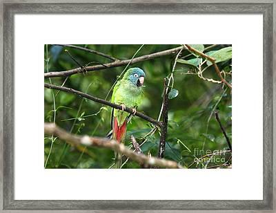 Blue Crowned Parakeet Framed Print