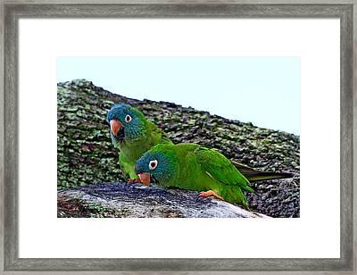 Blue-crowned Parakeet Pair Framed Print by Ira Runyan