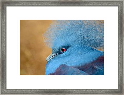 Blue Crowned Pigeon Framed Print by T C Brown