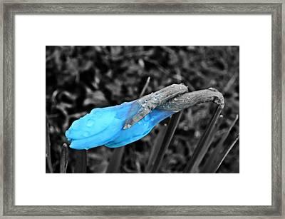 Blue Daffodil Framed Print by Marianna Mills
