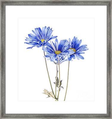 Blue Daisies On White Framed Print by Vishwanath Bhat
