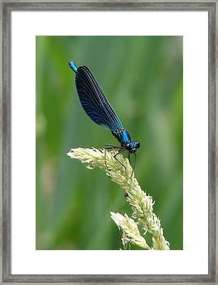 Blue Damselfly Framed Print by Ramona Johnston