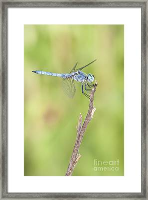 Framed Print featuring the photograph Blue Dasher by Bryan Keil