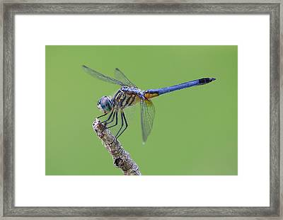 Blue Dasher Dragonfly Framed Print by Ester  Rogers