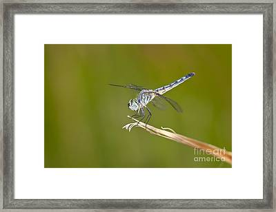 Framed Print featuring the photograph Blue Dasher On The Edge by Bryan Keil