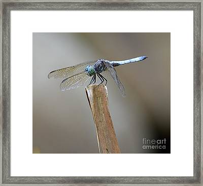 Framed Print featuring the photograph Blue Dasher by Randy Bodkins