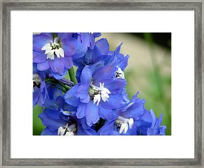 Blue Delphinium Flower Framed Print by Bonita Hensley